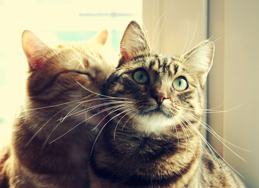 Cats-kiss-cats-in-love