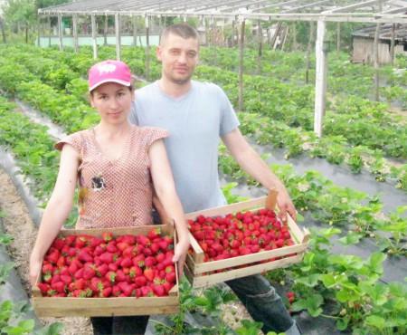 Soții Potereanu – celebrii crescători de căpșune aromate de la Puhoi!