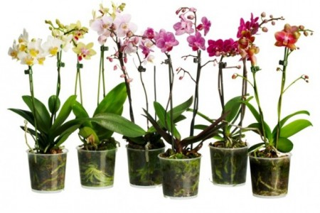 orhidei1-e1427190954533