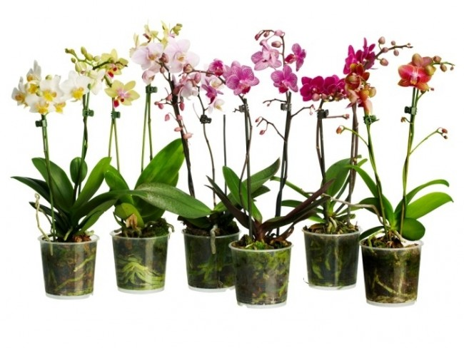 Cum Poți Transforma O Singură Orhidee Intr O Sută De Ghivece De