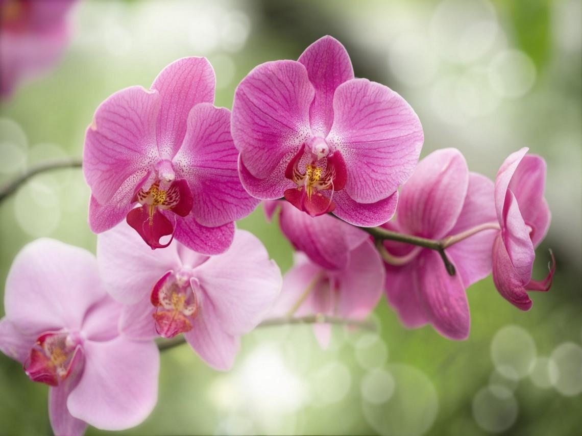 Cum trebuie să îngrijeşti corect o orhidee ca să înflorească tot anul