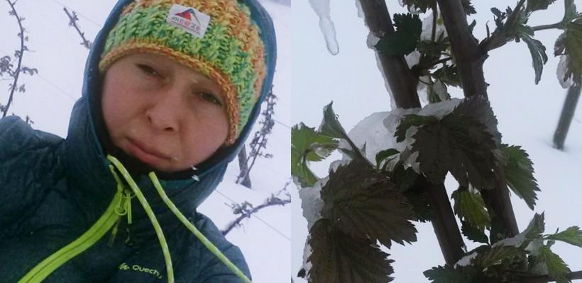 """Vremea afectează și plantațiile de pomușoare! Irina Pompuș-Mura: """"Nici sistemul de suport nu ne-a salvat"""""""