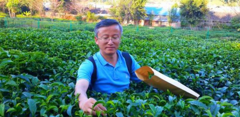Secretele plantelor de ceai au fost dezvăluite de știință