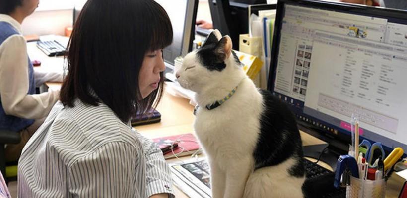 Pisicile îi scapă de stres pe salariații din Japonia torcând. O companie adăpostește 9 feline care torc pe genunchii angajaților