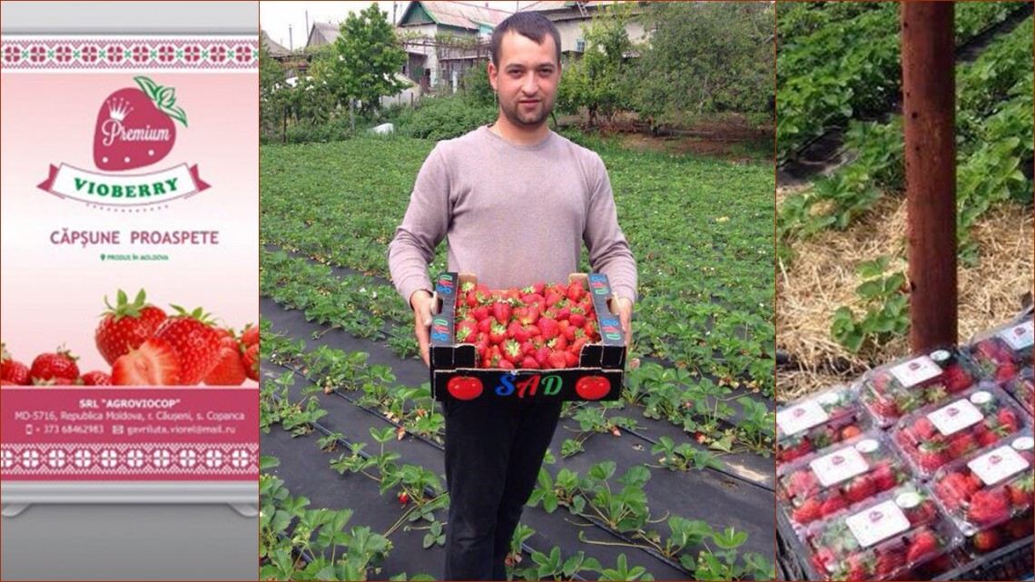 Viorel Gavriluță produce căpșune bio la Căușeni! Cum să reziști zăpezii din aprilie și altor provocări, aflăm chiar de la el