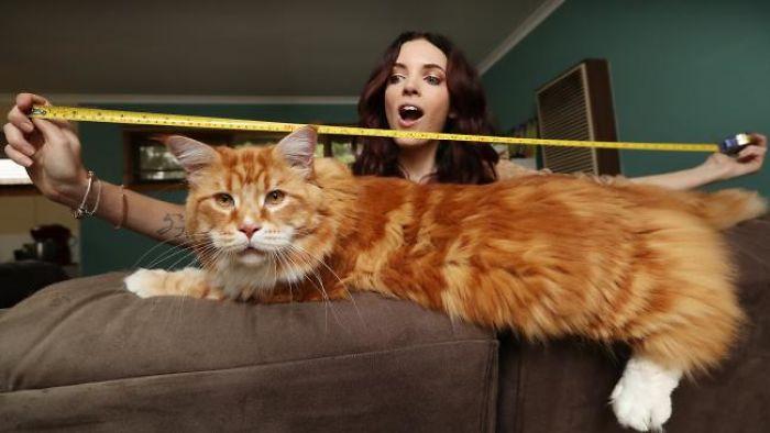 longest-cat-world-omar-australia-591c4a540818f__700