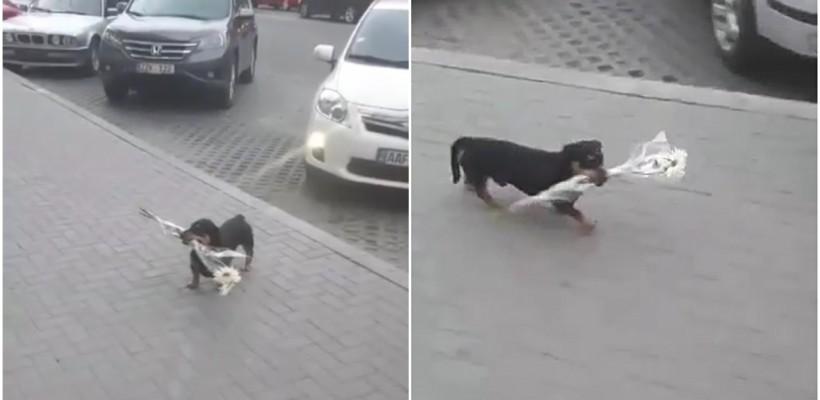 Faza zilei: un cățel cu un buchet între dinți pe o stradă din Chișinău